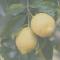 Coronavirus, tutti vogliono i limoni siciliani: sono un ottimo disinfettante naturale
